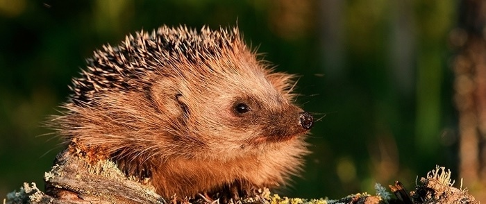 A hedgehog sits on a branch outside.