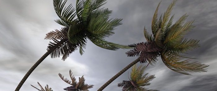 Palm trees bend over in the high winds of a hurricane.