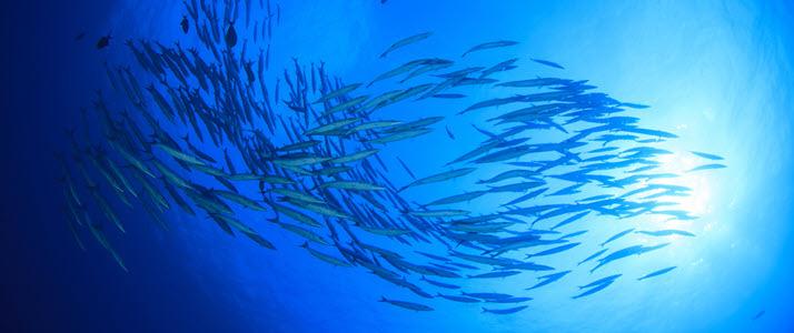 school of baracuda fish in ocean